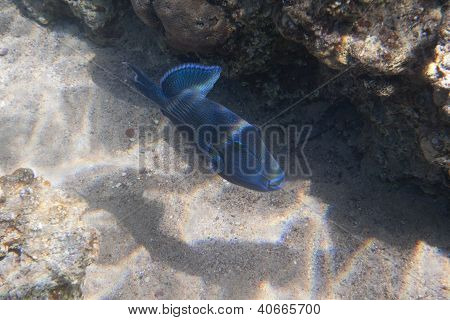 Blue-and-gold Triggerfish (pseudobalistes Fuscus)