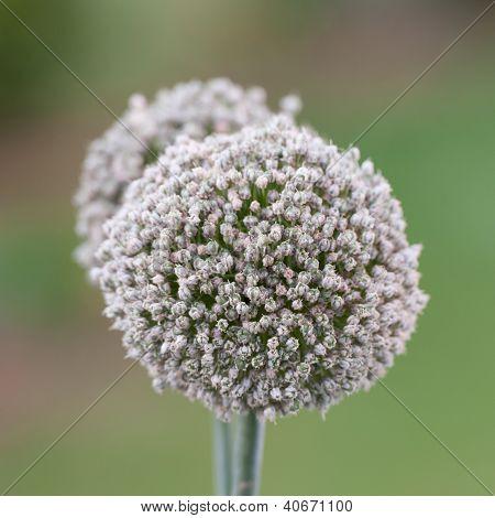 Head Flower Ball On A Blur Background
