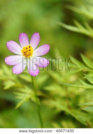 Fresh daisy flowers