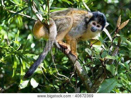 Squirrel Monkey Resting On A Branch