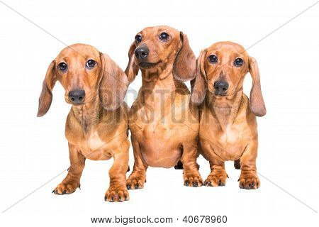 Three Red Dachshund Dogs On Isolated White
