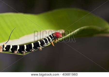 Tropical Caterpillar