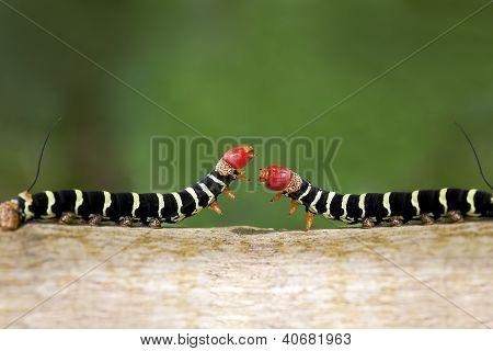 Caterpillar Duel