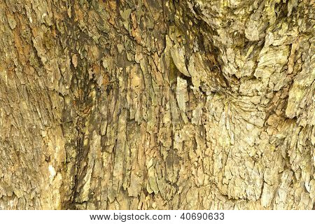 Bark Of  Monkey Pod Tree