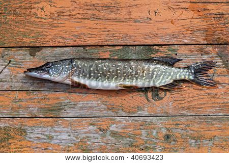 Freshwater Fish Pike Lying On The Wooden Boards