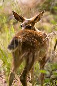 stock photo of blacktail  - Shy Blacktail Fawn Deer In Wooded Area - JPG