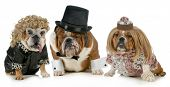 stock photo of hair bow  - males bulldog with two females all dressed in formal clothing isolated on white background - JPG