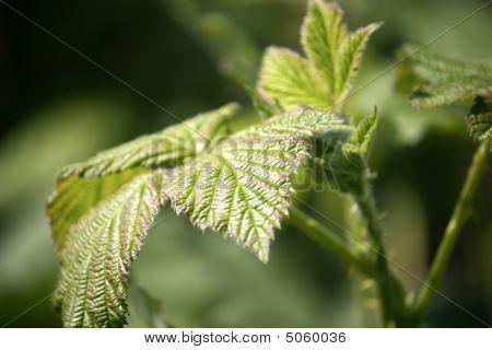 Close Up Of Wild Shrub Leaf