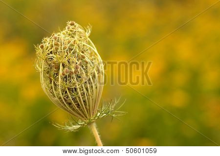 Wild carrot flower