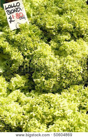 Fresh Salad Lettuce For Sale