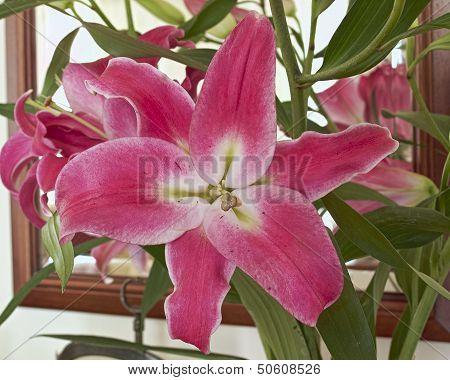 single violet lilium flower closeup
