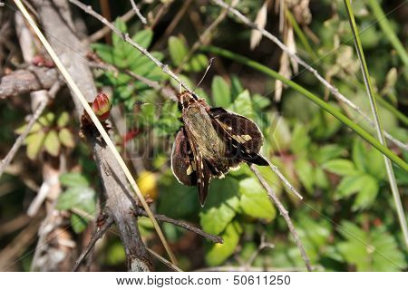 Green and Brown Moth on a Stick