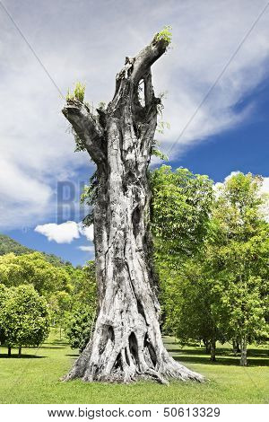 Banyan Stump