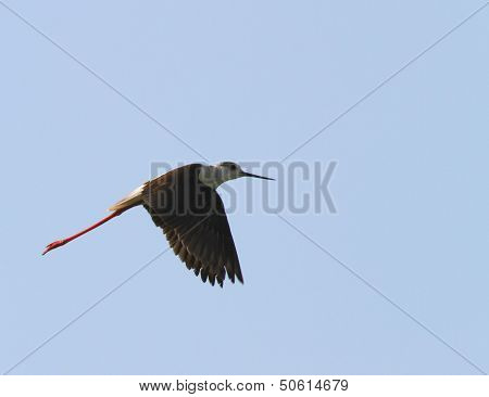 Bird With Long, Tapered Legs Fly High In The Sky