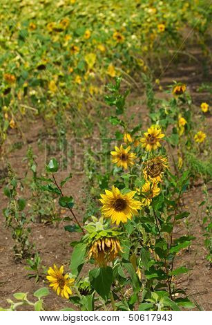 Sunflowers On Abstract