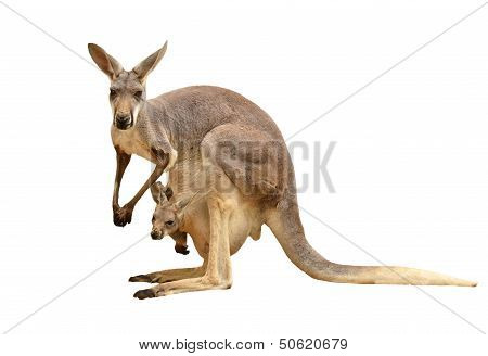 Kangaroo Isolated
