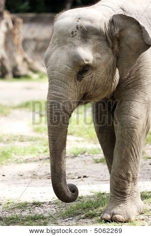 Malayan Elephant
