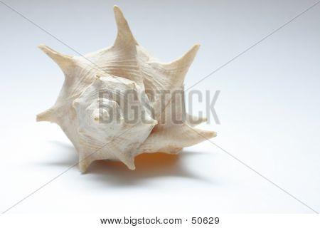 Small Sea Shell
