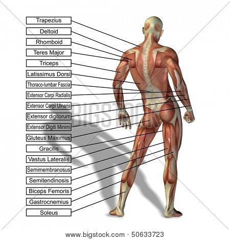 High resolution 3D male or human anatomy, a man with muscles and text isolated on white background