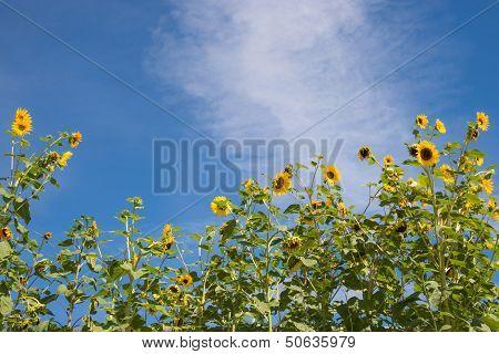 Sunflower Border against Blue Sky