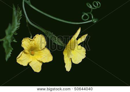 Bitter Gourd Flower