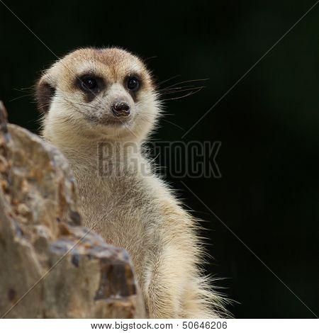 Meerkat Ensconce Near Stone On Black Background