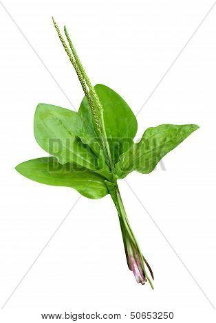 plantain plants