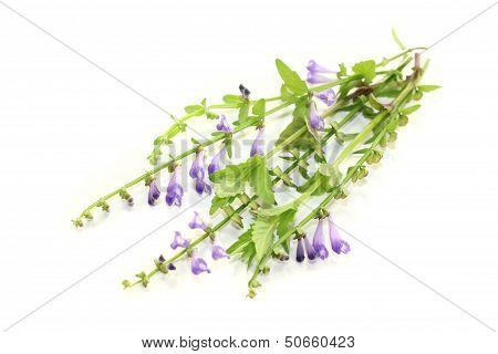 Fresh Blooming Ban Zhi Lian
