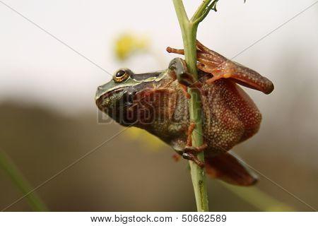 Hyla arborea frog