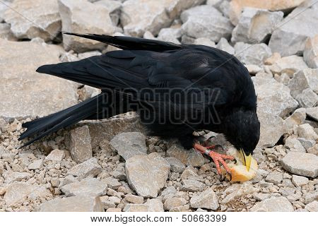 Chough. Pyrrhocorax graculus.
