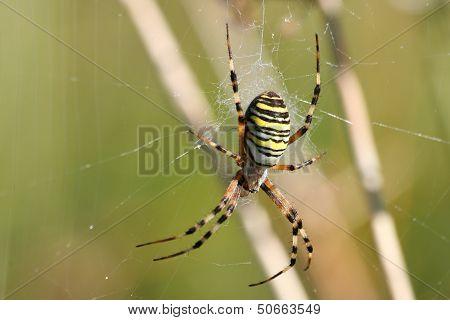 Spider Tiger. Argiope bruennichii.