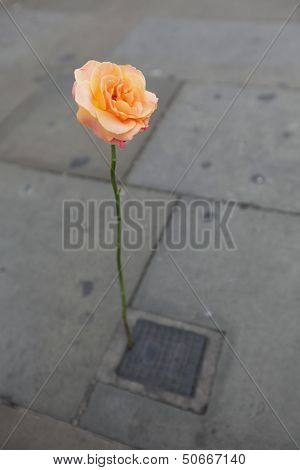 Lonely rose