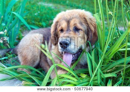 Tibetan Mastiff Puppy Outdoors