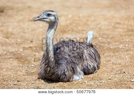 Greater Rhea Lying On Sand