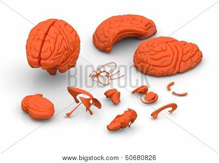 Brain parts - Human brain decomposed