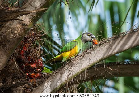 Senegalese Parrot Eating In A Palm Tree