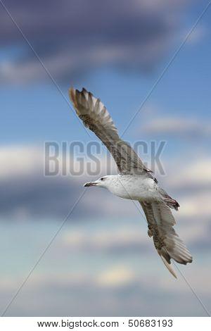 Closeup Of Larus Argentatus In Flight