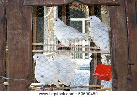 Three White Pigeons In A Cage