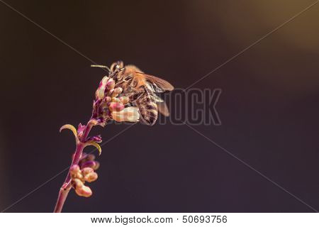 Honey Bee Sitting On A Single Flower