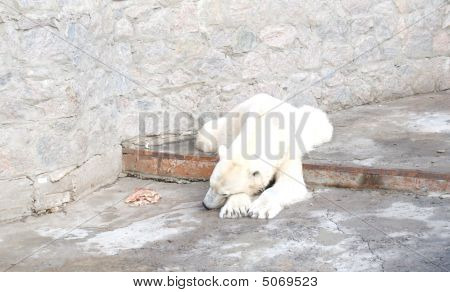 Sad Polar Bear