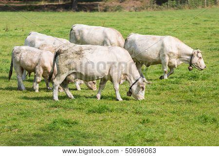 White Cows In Dutch Pasture