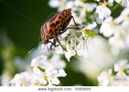 Hemiptera Red Stink Bug In White Flowers