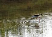 Black-winged Stilt With Long Tapered Legs Walking In The Pond In Search Of Food poster