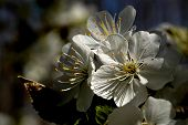 foto of stomata  - apple tree flower blossoms - JPG