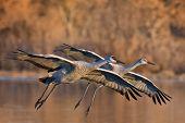 picture of apache  - A pair of sandhill cranes landing at Bosque del Apache  - JPG