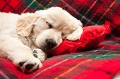 foto of puppy christmas  - Adorable 10 week old golden retriever puppy asleep on a tartan blanket with his head on a heart shaped pillow