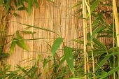 Bamboo Fence With Fresh Bamboo