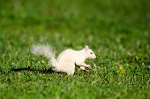 picture of albinos  - Rare white squirrel feeding on the ground in the city park in Olney Illinois one of the few places were a large number of them exist - JPG