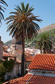 picture of safe haven  - Palmtree in the middle of Dubrovnik Old City in Croatia - JPG