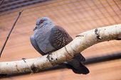 picture of guinea fowl  - Speckled Pigeon aka Columba Guinea in Zoo - JPG